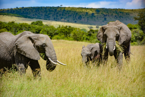 Elephants on the Serengeti plains