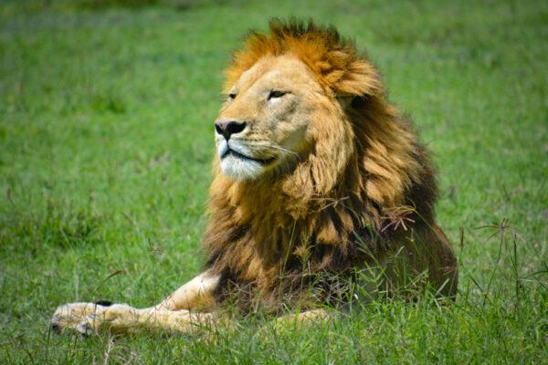Simba on the Serengeti plains